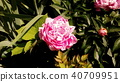 작약, 함박꽃, 분홍색 40709951