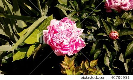中國牡丹 粉紅色 粉色 40709951