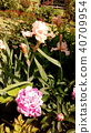 작약, 함박꽃, 분홍색 40709954