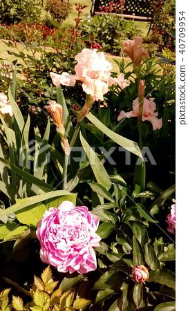 中国牡丹 粉色 花朵 40709954