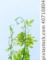 ivy, vine, tendril 40710804