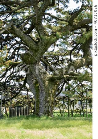Kuromatsu自然纪念碑山形县 40715026