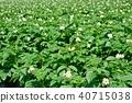 감자 밭 40715038