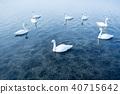 큰고니, 백조, 호수 40715642