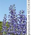 Melasaki Sendaihagi藍色紫色美麗的花 40723639