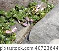 Hamahirugao beautifully bloomed at Kemigawa river 40723644