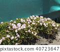 Hamahirugao在Kemigawa河上美麗地綻放 40723647
