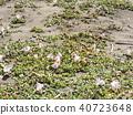 Hamahirugao在Kemigawa河上美麗地綻放 40723648