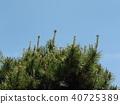 一种雌性花的Pinus thunbergii,似乎像羊驼或美洲驼 40725389