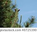 一种雌性花的Pinus thunbergii,似乎像羊驼或美洲驼 40725390