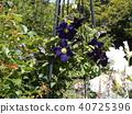 덩굴 성 식물 클레 마티스의 진한 파란색 꽃 40725396