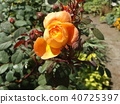 橙色玫瑰花 40725397