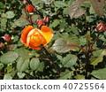 橙色玫瑰花 40725564