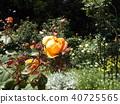 橙色玫瑰花 40725565