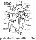 Human heart diagram anatomy 40730767