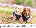 与腊肠犬一起散步 40737815