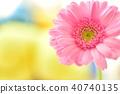 粉色非洲菊 40740135