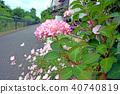 風景 自然 繡球花 40740819