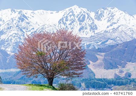 Nohira's One Sakura and Hakuba Mountain Range 40741760