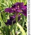 ดอกไม้ไอริสสีม่วงที่ Itako Iris Garden 40743016
