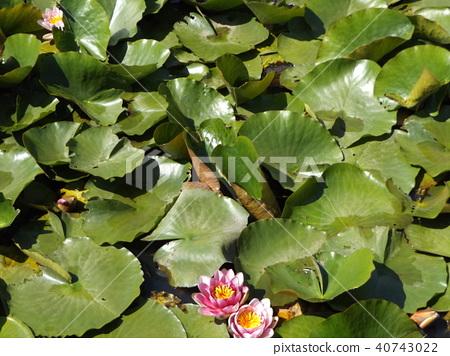 荷花 蓮花 花朵 40743022