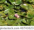荷花 蓮花 花朵 40743023