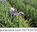 鳶尾 花朵 花 40743478