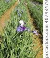 鳶尾 花朵 花 40743479