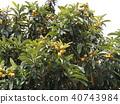 枇杷 水果 橙色 40743984