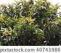 비파나무, 비파, 열매 40743986