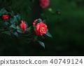 山茶花 植物 开花 40749124