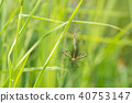 Mosquitoes copulate in a green grass 40753147
