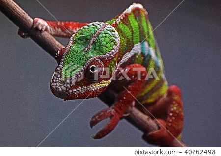 chameleon 40762498
