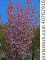 봄 낭만의 벚꽃 40762916