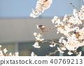 麻雀 樱花 樱桃树 40769213