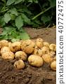 햇 감자 (키타아카리) 수확 40772475