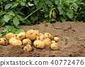 감자, 수확, 밭 40772476