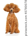 Toy Poodle puppy on white 40780078