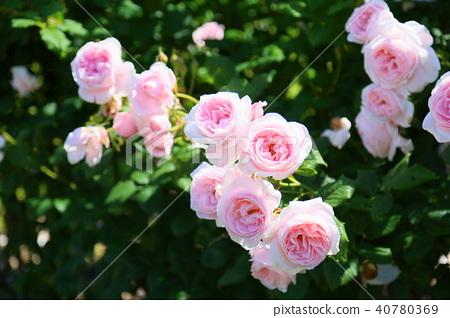 초여름의 장미 나에마 꽃 40780369