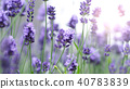 Lavender flower blooming with sunlight outdoor. 40783839