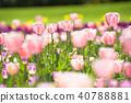 鬱金香 鬱金香花叢 花朵 40788881