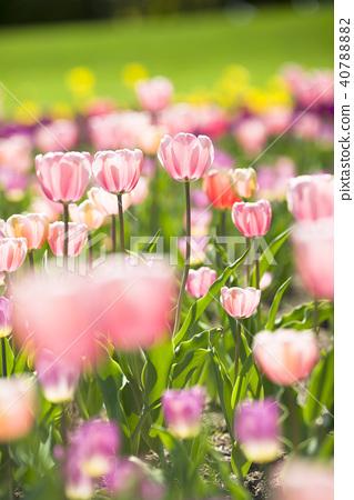 鬱金香 鬱金香花叢 花朵 40788882