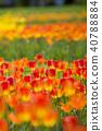 鬱金香 鬱金香花叢 花朵 40788884