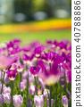 鬱金香 鬱金香花叢 花朵 40788886