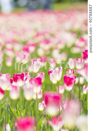 鬱金香 鬱金香花叢 花朵 40788887