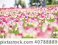 鬱金香 鬱金香花叢 花朵 40788889