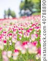 鬱金香 鬱金香花叢 花朵 40788890