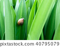 Snail on green leaf. 40795079