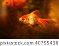Beautiful goldfish in aquarium 40795436