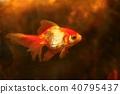 Beautiful goldfish in aquarium 40795437